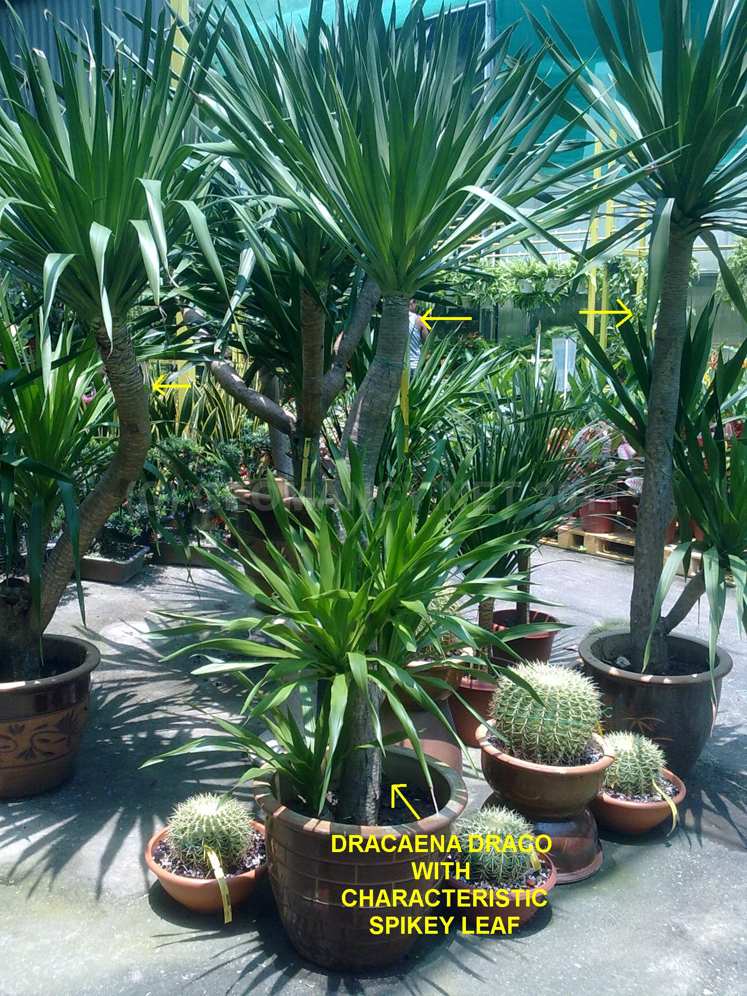dracaena draco with spiked leafs around singapore. Black Bedroom Furniture Sets. Home Design Ideas