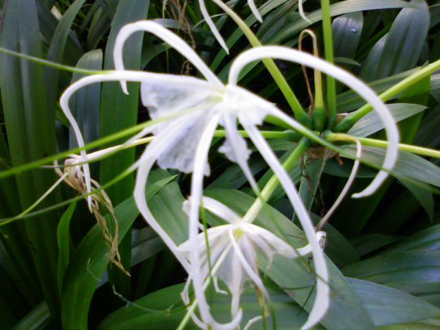 Hymenocallis specisa spider lily or white spice around singapore however this plant with white flowers are not popular with locals as they consider white white flowers inauspicious the chinese and singaporeans mightylinksfo